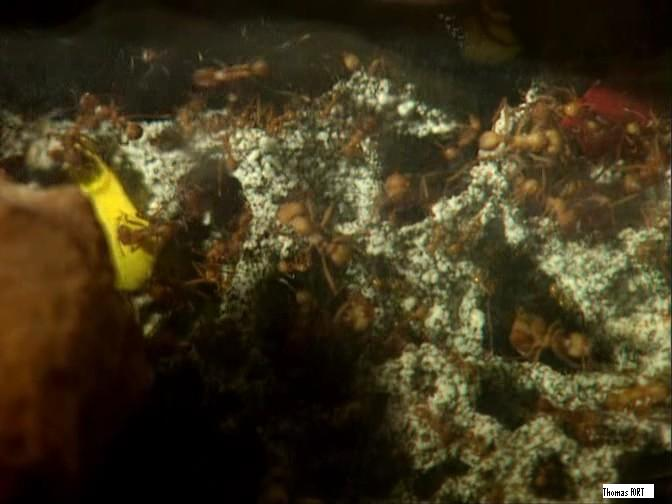 Ouvrières s'occupant d'une champignonnière