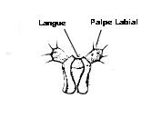 Lèvre inférieure avec les 2 palpes labiaux
