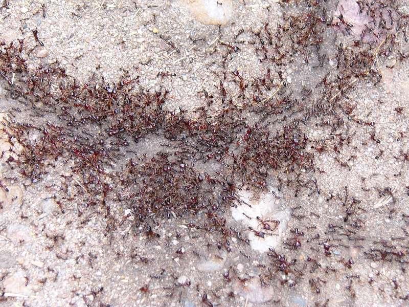 Piste de fourmis avec le sillon creusés